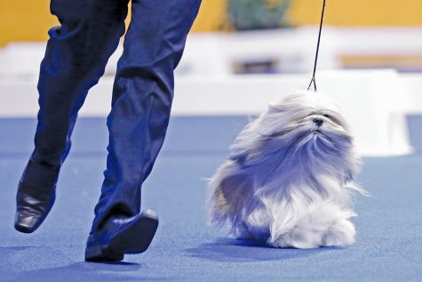 Hawaii resident Adrian Agard runs a lap of the judging area with his dog Storm, a Lhasa Apso, during the Golden Gate Kennel Club Dog Show at the Cow Palace in Daly City, Calif. on Saturday, Jan. 31, 2016.