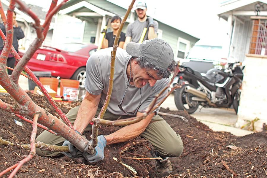 Rockridge resident Chris Randel forcibly removes a live Japanese Maple tree in the front yard of 2031 Rheem Avenue in Richmond on Feb. 14. Randel was part of a volunteer group that is overseen by the Watershed Project, a nonprofit organization bent on restoring the surrounding watersheds.