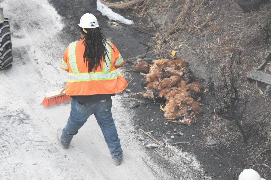 A Caltrans worker sweeps a material poured over oil as a pile of dead chickens sits on his right after a big rig transporting about 1,000 chickens swerved on Interstate 80 hit the center divide and crashed in San Pablo early Sept. 5. The vehicle burst into flames and killed about 800 of the birds on board. The clean up took 8 hours to complete.